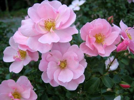 くじゅう花公園_秋のバラ