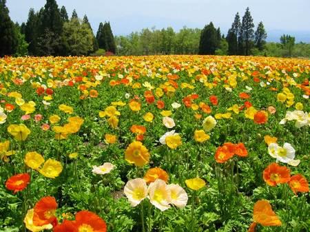 くじゅう花公園のポピー畑