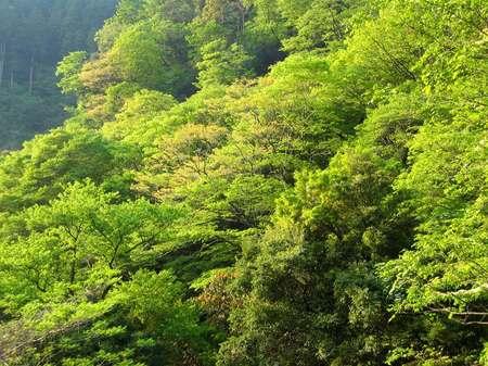 菊池渓谷の新緑