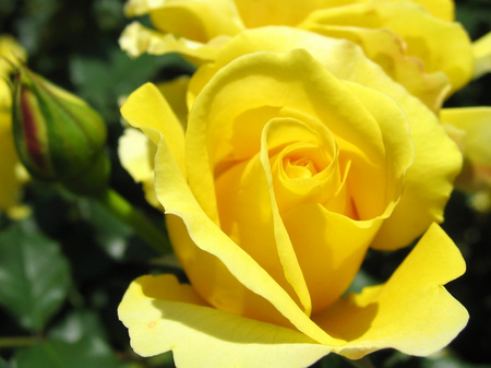 ハウステンボス_ローズガーデンのバラ