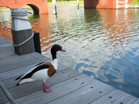ハウステンボスにいた鴨
