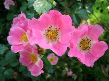 ハウステンボス_6月のバラ