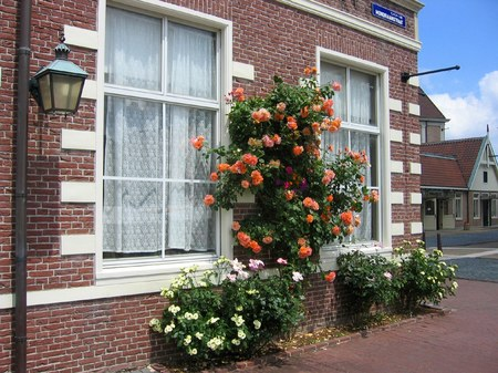 ハウステンボス_モンドリアーン通りに咲くバラ