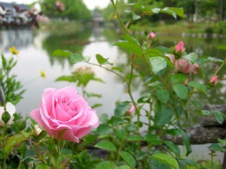 ハウステンボス_湖畔のバラ
