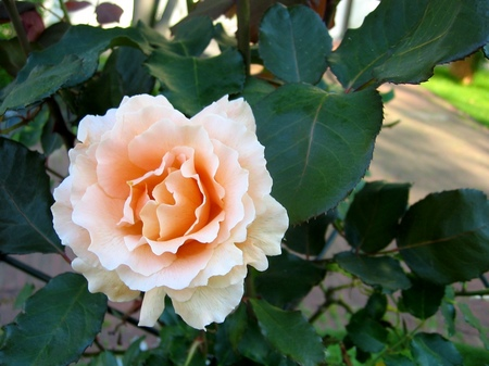 ハウステンボスに咲くバラ