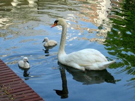 ハウステンボス_アムステル川の白鳥の親子