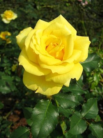 ハウステンボス_ローズガーデンの秋バラ
