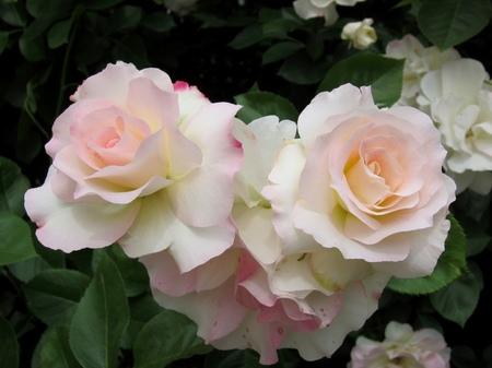 ハウステンボス_ローズガーデンに咲くバラ