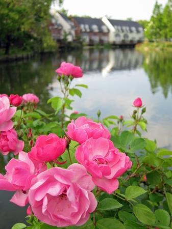ハウステンボス_朝の湖畔に咲くバラ