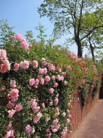 ハウステンボス_シンゲル運河沿いに咲くバラ