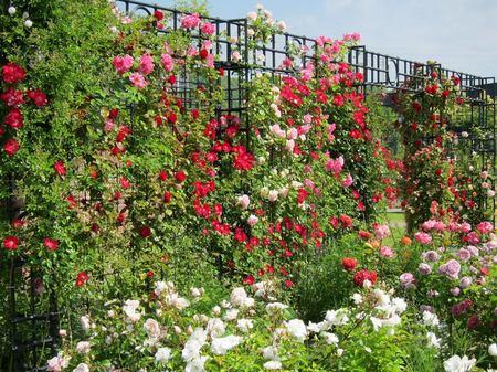 ハウステンボス_アートガーデンに咲くバラ
