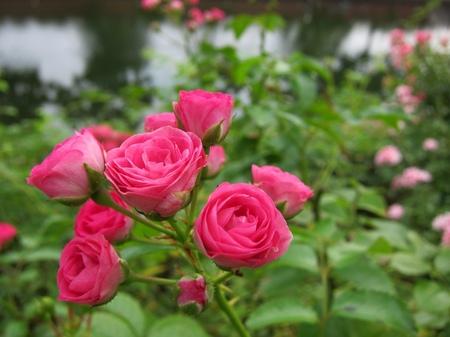 ハウステンボス_夏の運河沿いに咲くバラ