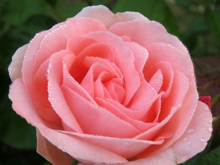 ハウステンボス_朝露のバラ