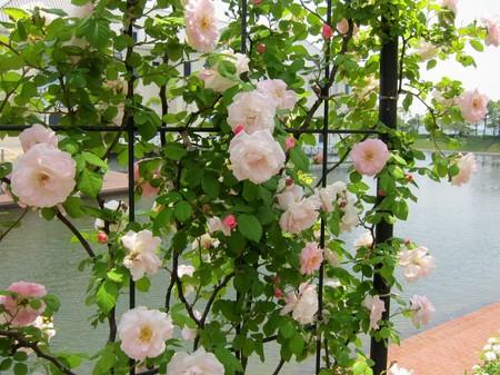 ハウステンボス_ブライトナー通りのバラ