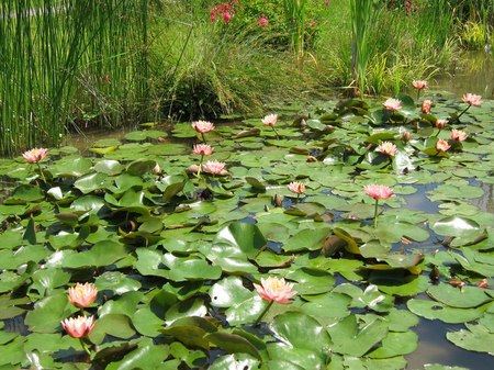 ハウステンボス_アートガーデンに咲く蓮の花