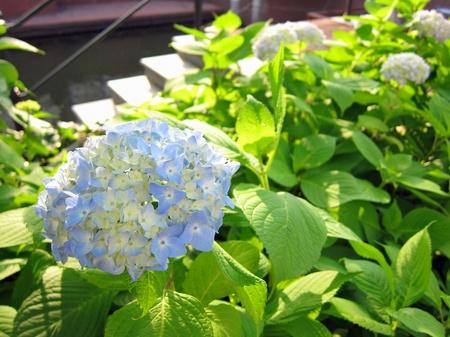 ハウステンボス_イズラエルス通りの紫陽花
