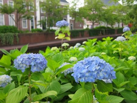 ハウステンボス_アムステル通りの紫陽花
