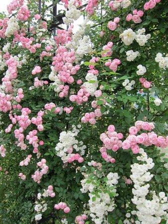 ハウステンボス_フォリーに咲くバラ