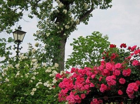 ハウステンボス_バラの咲く朝の運河